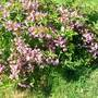 weigela (Weigela maximowiczii)