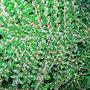 pyracantha (pyracantha (fire thorn))