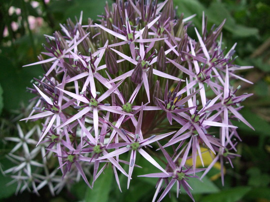 Allium christophii (Allium christophii (Persian Onion))