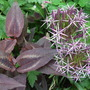 Allium christophii and Persicaria (Allium christophii (Persian Onion))