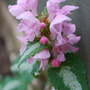 And yet another Lamium (Lamium)