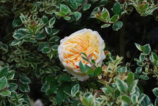 Myrtus Glanleam Gold. with unknown rose...... (Myrtus Glanleam Gold)