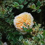 Myrtus Glanleam Gold. with unknown rose...... (Myrtus Glanleam Gold)