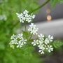 Chervil ~ Anthriscus cerefolium (Anthriscus cerefolium (Atrila))