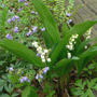 Lily_of_the_valley_greek_valerian_4_29_06_exc_sm
