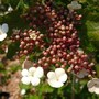 Viburnum sargentii 'Onondaga' (Viburnum sargentii)