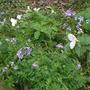 Greek Valerian in Wildflower Bed (Polemonium reptans)