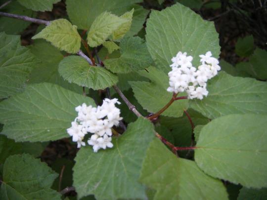 Viburnum edule 'highbush cranberry' (Viburnum edule)