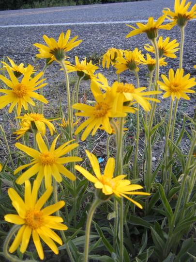 Arnica alpina (Arnica montana (Arnica))