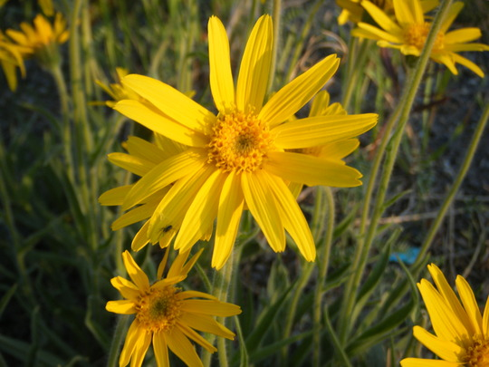 My favorite one (Arnica montana (Arnica))