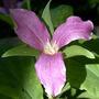 Large-Flowered Trillium Aging (Trillium grandiflora)