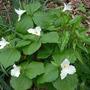 Clump of Volunteer Trillium (Trillium grandiflora)