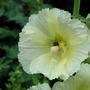 Hollyhock (Alsea rosea)