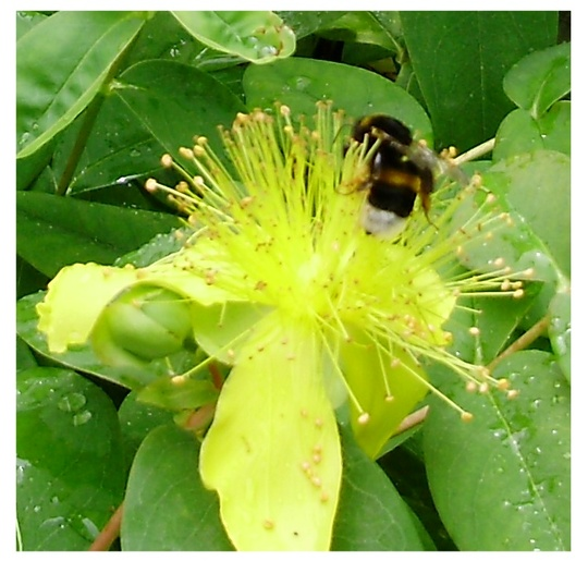 Mr Bumble (Hypericum calycinum (Rose of Sharon))