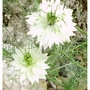 Nigella (Nigella damascena (Love-in-a-mist))