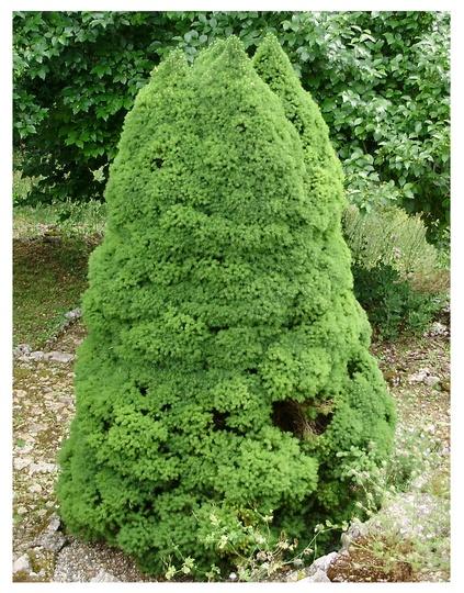 Conica (Picea glauca albertiana (Conica))