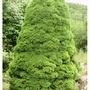 Conica 2 (Picea glauca albertiana (Conica))