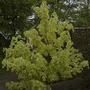 Foliage variations2 (Acer platanoides 'Drummondii')