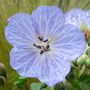 mrs kendall clarke (geranium)