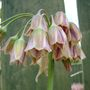 Honey lily (Nectaroscordum siculum (Ornamental onion))