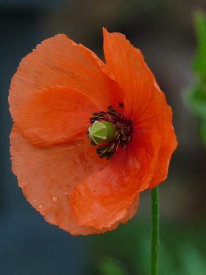 Field Poppy (Papaver rhoeas (Corn poppy))