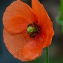 Field Poppy (Papaver rhoeas (Corn poppy))