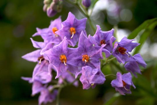 Solanum crispum (Solanum crispum)