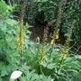 Ligularia przewalskii (Ligularia przewalskii (Ligularia))