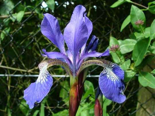 Siberian Iris (Iris siberica)