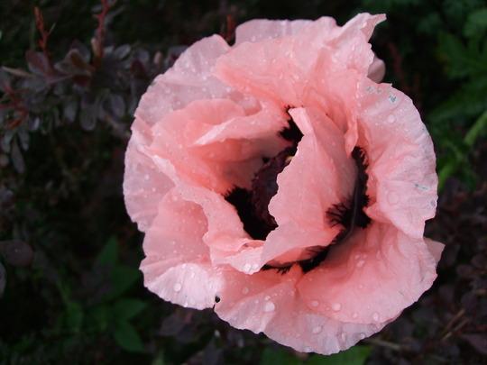 Pink Oriental Poppy (Papaver orientale (Oriental poppy))