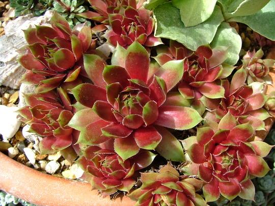 """Sempervivum """"Gay Kester"""" (Sempervivum tectorum (Common Houseleek))"""