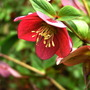 Hellebore (Helleborus purpurascens (Hellebore))