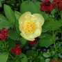 A garden flower photo (Paeonia mlokosewitschii (Golden Peony))