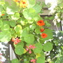 Nasturiums in hanging basket on balcony (Tropaeolum majus (Compact Nasturtium))