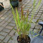 Red Barron  (Imperata  cylindrica 'Rubra ')