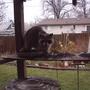 2007_04_26_011_raccoon_at_feeder