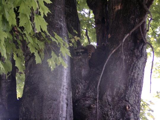 Raccoon kits up the maple tree