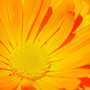 close up of african marigold (Tagetes erecta)