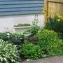 shade garden (Hosta lancifolia (Plantain lily))
