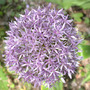 Allium Globemaster Close (Allium Globemaster)