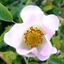 Rose_time