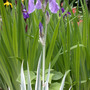 Variegated Sweet Iris in Bloom (Iris Variegata Sweet)