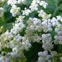 Sambucus nigra Common or black elder, sometimes call a pipe tree. (Sambucus nigra)