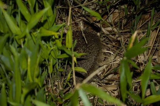 Hedgehog in the bamboo grove at night