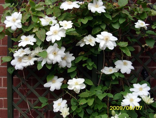 Mrs George Jackman (Clematis)