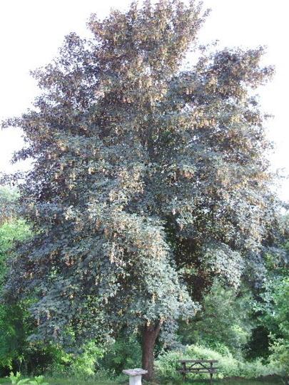 Sycamore (Acer pseudoplatanus) (Acer pseudoplatanus)