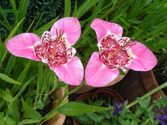Lilies (Tigridia Pavnia ( I think))