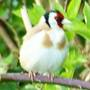 Cock Goldfinch