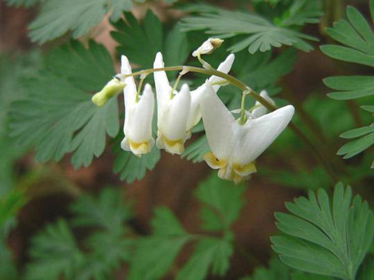 Dutchman's Breeches, Dicentra cucullaria (Dicentra cucullaria (Dutchmans Breeches))