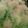 Smoke Bush (Cotinus coggygria (Smoke bush))